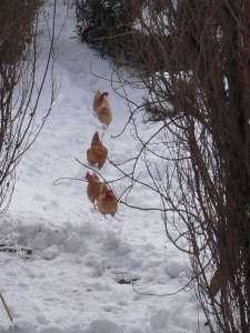site dekoninckferey les poules rousses 13 mars 2013