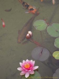 site dekoninckferey 2010 mai poissons-nénuphars
